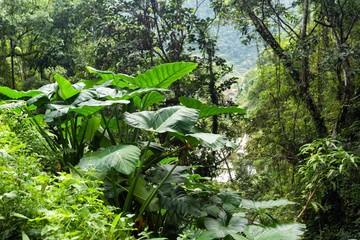 Giant taro plant in jungle