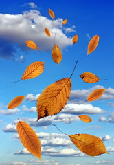 falling leaves over blue sky