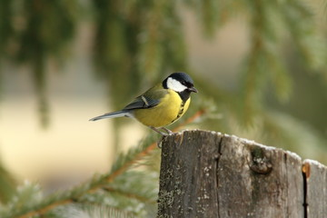 great tit perched on a stump feeder