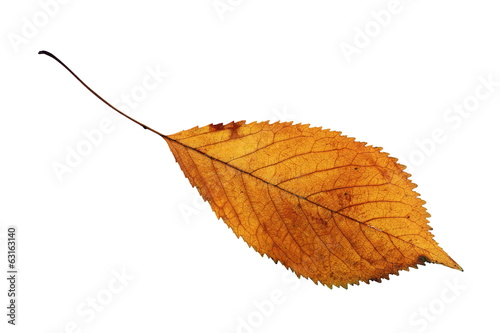 isolated golden cherry leaf