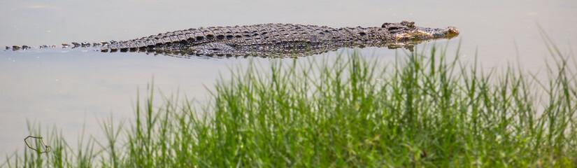 Saltwater crocodile in captivity