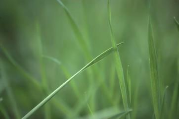 Grass blade on blured green background