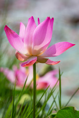 Lotus flower blooming
