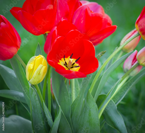 Red tulip close-up