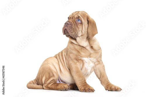 French Mastiff puppy