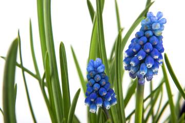 Blüten der Traubenhyazinthe