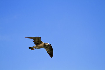 seagull in flight,Larus crassirostris