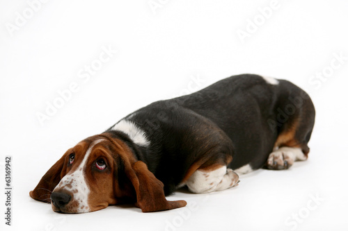 Pick me, cutest basset on earth