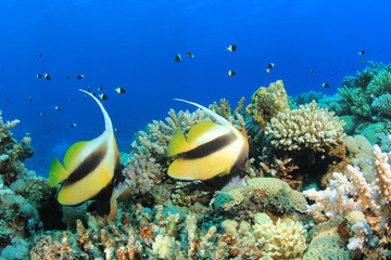 Red Sea Bannerfish on coral reef