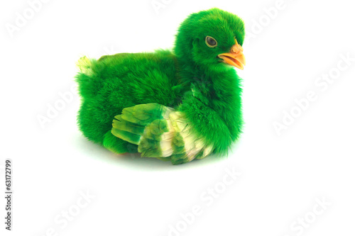 colorful cute little baby chicken on white background