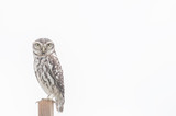 Little Owl series 02
