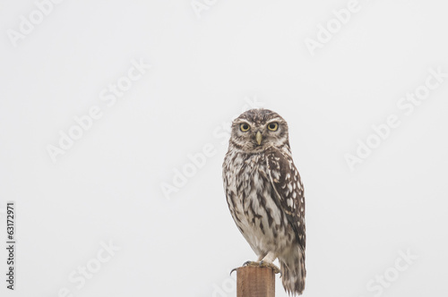 Tuinposter Uil Little Owl series 04