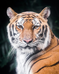 Portrait of tiger