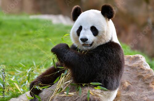 Keuken foto achterwand Panda Panda géant
