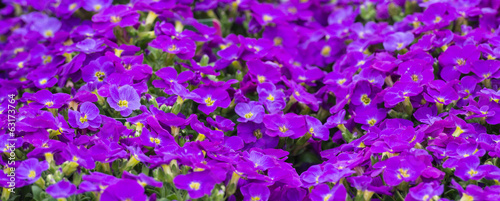 Closeup of lilac blooming Aubrieta plants
