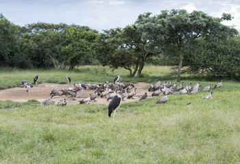 marabou and vulture birds in the wild