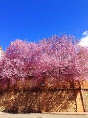 bonitos arboles rosas en un dia soleado de primavera