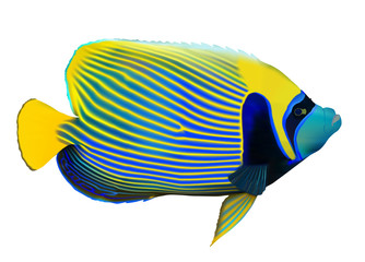Emperor angelfish on white, vector illustration.