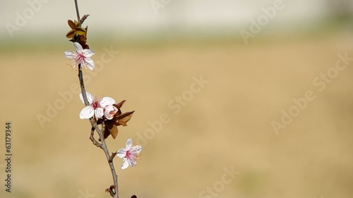 Flowery branch of plum tree on brown background.