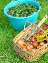 récolte de légumes et purin d'ortie, engrais