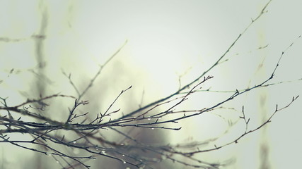 Raindrops of water in winter tree branches