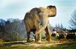 Elephant de savane (mâle)