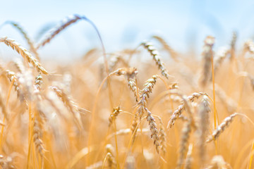 Close-up of field of gold and ripe rye