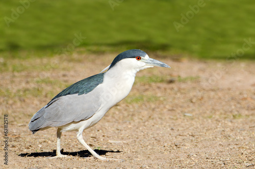 Black-crowned Night Heron, Male