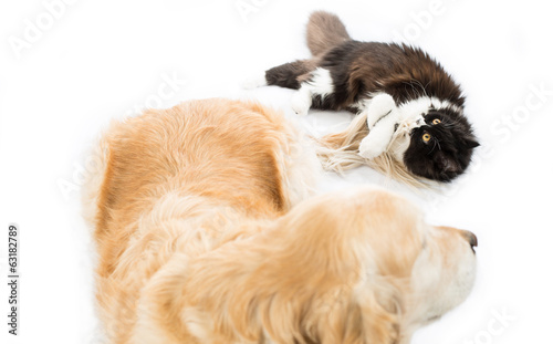 Persian cat with a dog