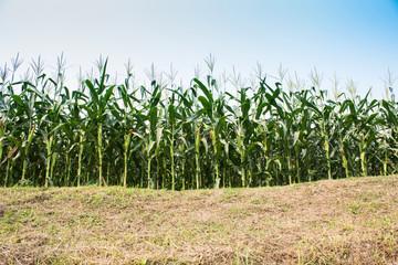 corn cob on a field in summer