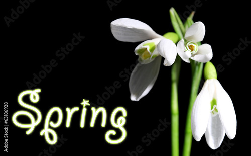 Beautiful bouquet of snowdrops on black background