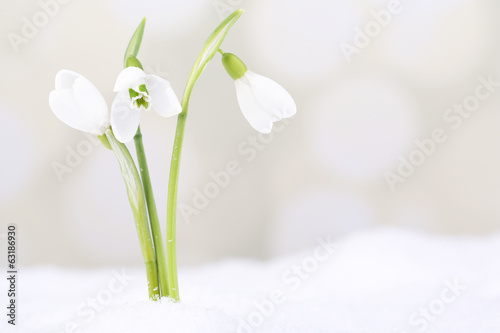 Beautiful snowdrops on snow, on light background
