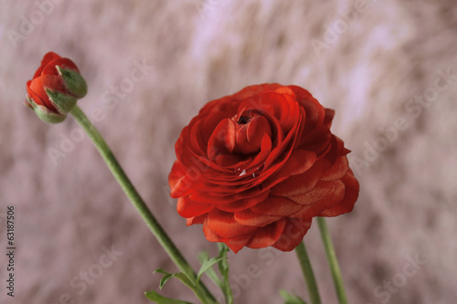 Ranunculus (persian buttercups), on color background