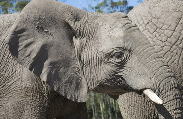 Portrait of  young African elephant