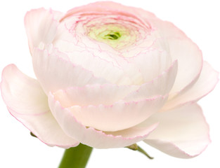 pale pink ranunculus isolated on white