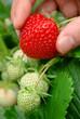 Reife Erdbeere frisch vom Strauch