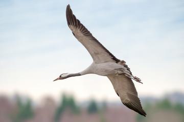 Crane bird closeup - Grus grus