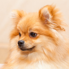 Spitz dog portrait