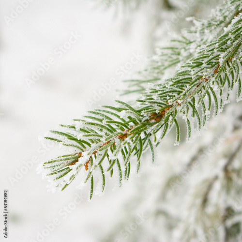 image of snowy fir branch in the park