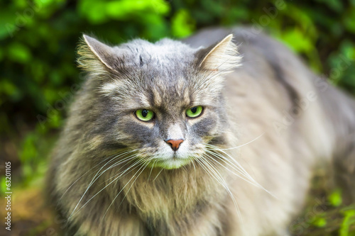 Gray cat with long hair in the garden