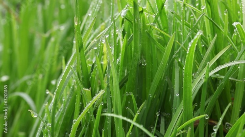Dew water drops on grass move in wind