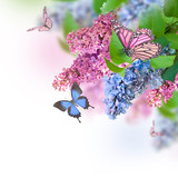 Branch of lilac blue and pink butterfly - 63206140