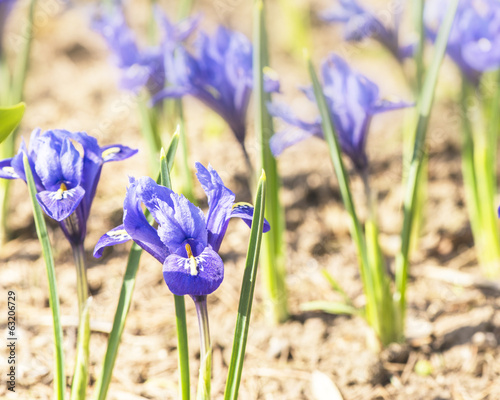 first spring blue irises
