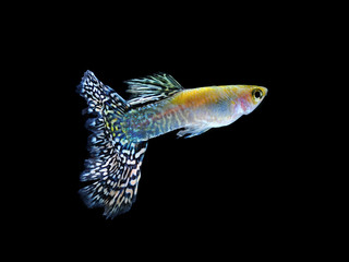 guppy pet fish swimming isolated on black