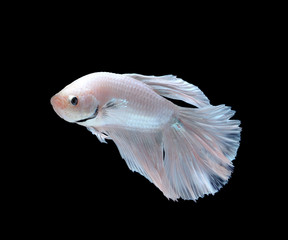 white siamese fighting fish, betta fish isolated on white backgr