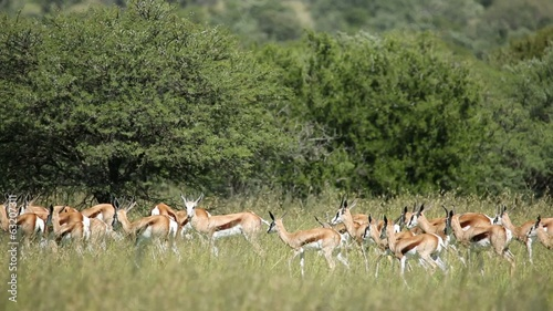 Herd of springbok antelopes walking in natural habitat