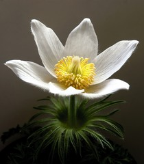 white pasque-flower