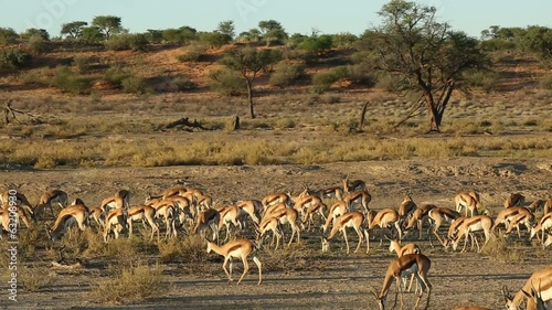Herd of springbok antelopes feeding in Kalahari desert