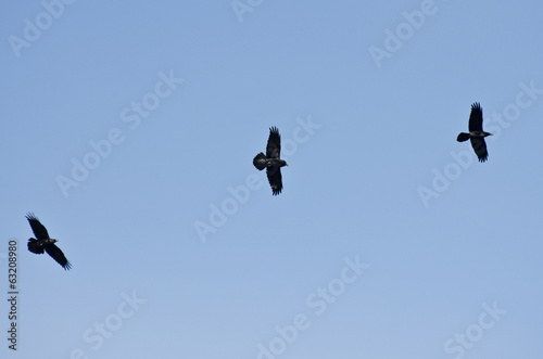 Three Black Ravens Flying in a Blue Sky