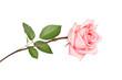Obrazy na płótnie, fototapety, zdjęcia, fotoobrazy drukowane : Pink rose